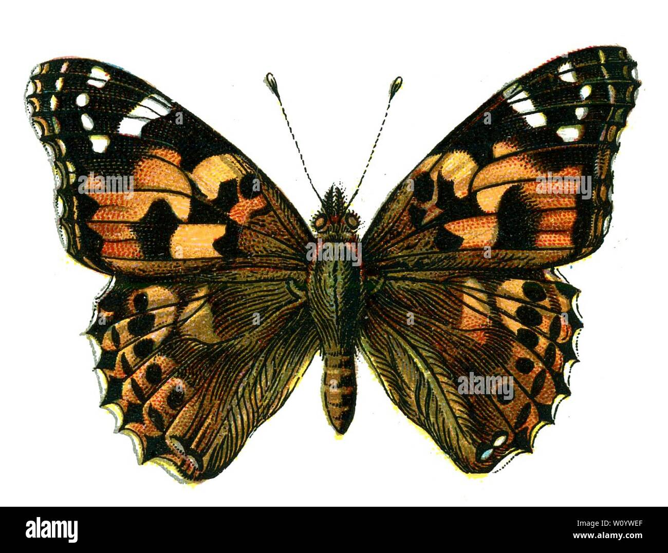 vanessa butterfly drawing images - 960×720