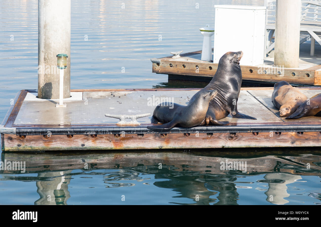 Sea lions and seals resting on a pier at Fisherman Village, Marina del Rey, California Stock Photo