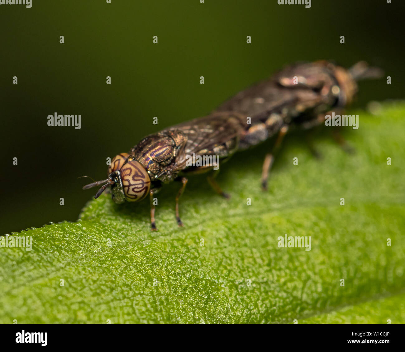 Wavy Mucksucker  (Orthonevra nitida) flies with a distinctive pattern on compound eyes mating on a green leaf - Stock Image