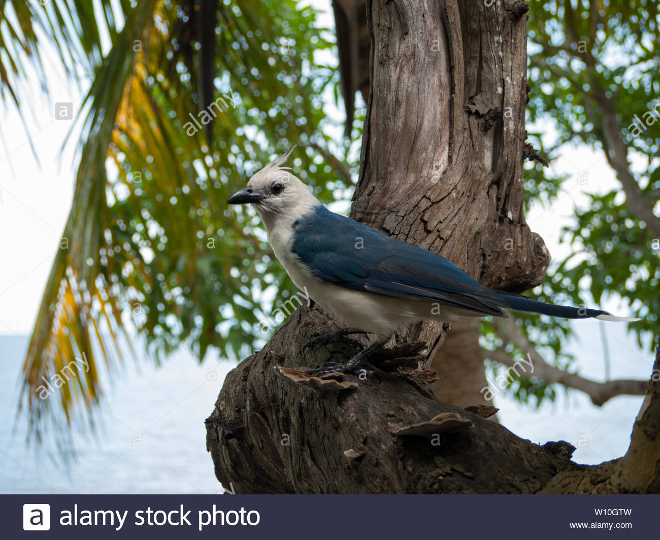 A very tame partially leucistic White-Throated Magpie-Jay eyes diners at a Playa Santo Domingo restuarant. - Stock Image
