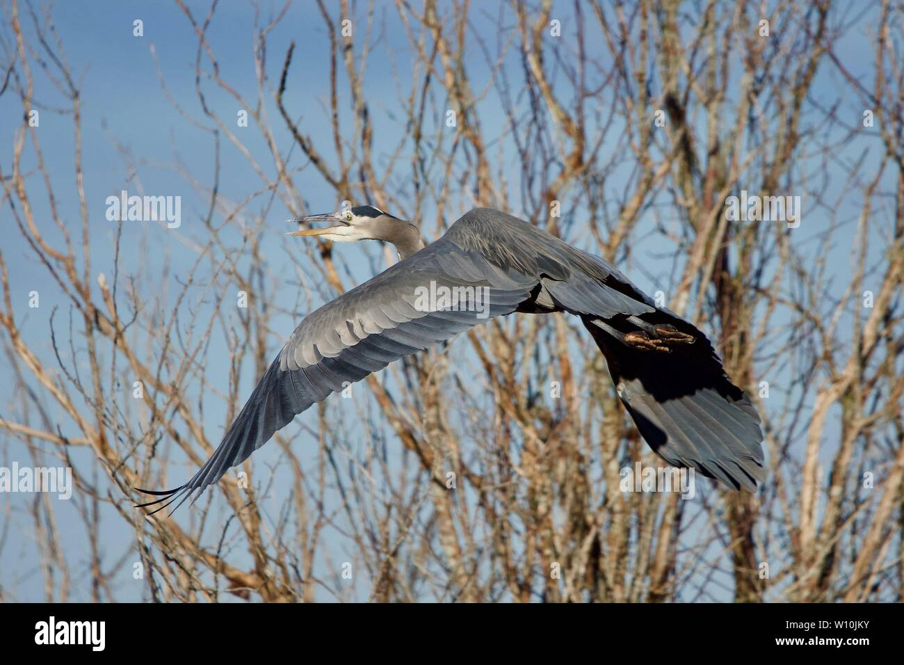 Great blue heron takes off through the trees with a squawk near Island View Beach, Vancouver Island, British Columbia. Stock Photo
