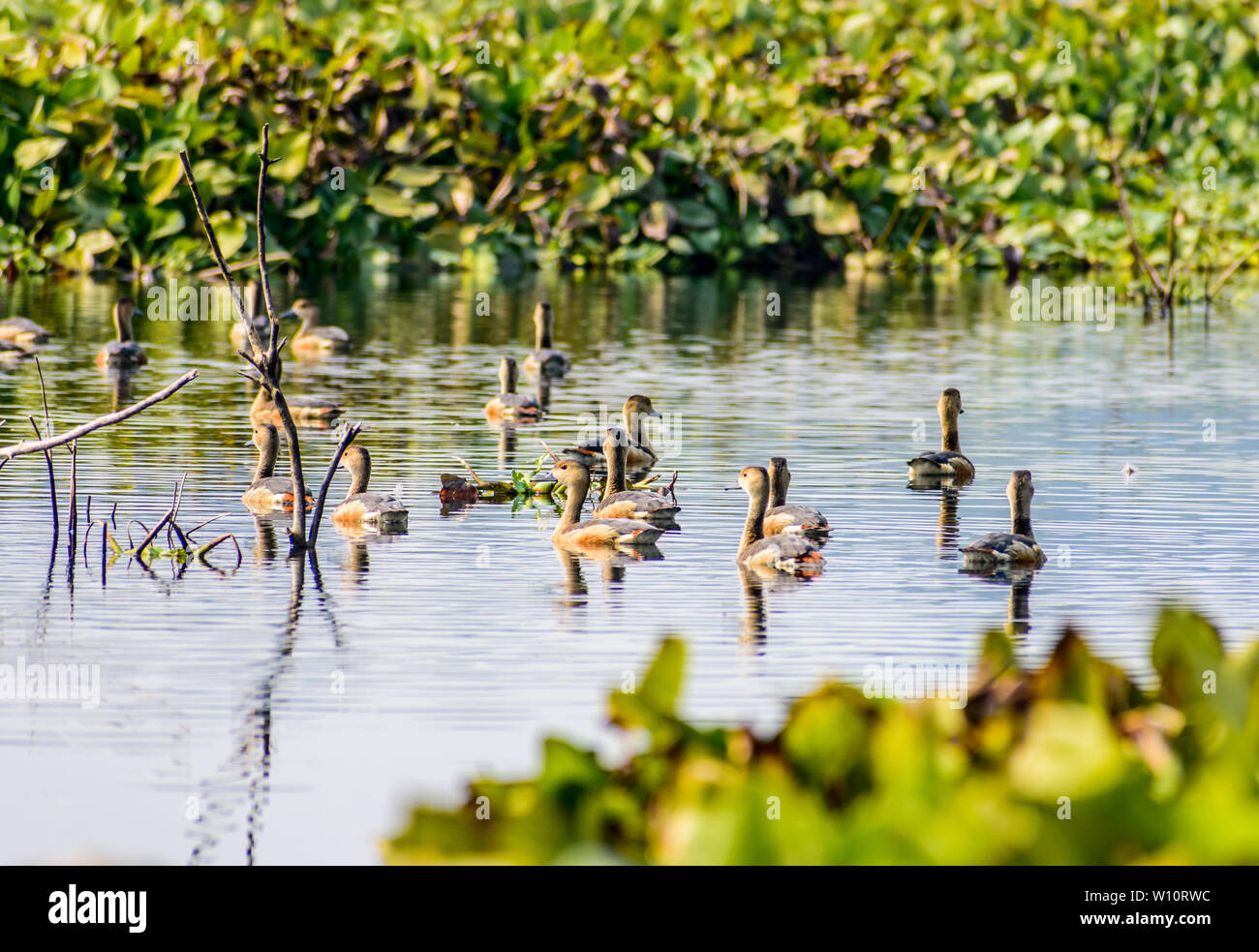 Closeup flock of billed duck aquatic bird (Anatidae species family), a chicken sized bird spotted in swimming in the lake field with Flowering Water H - Stock Image