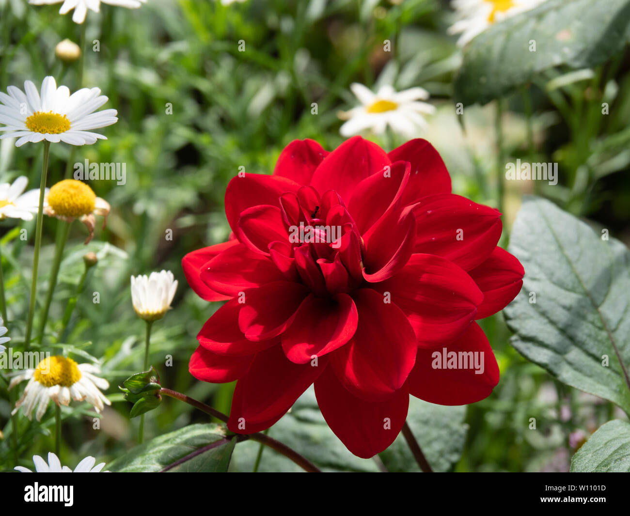 Single Red Dahlia in perfect condition and shape, showing bright color in garden. Red Dahlia is a symbol of power, strength and importance. Stock Photo