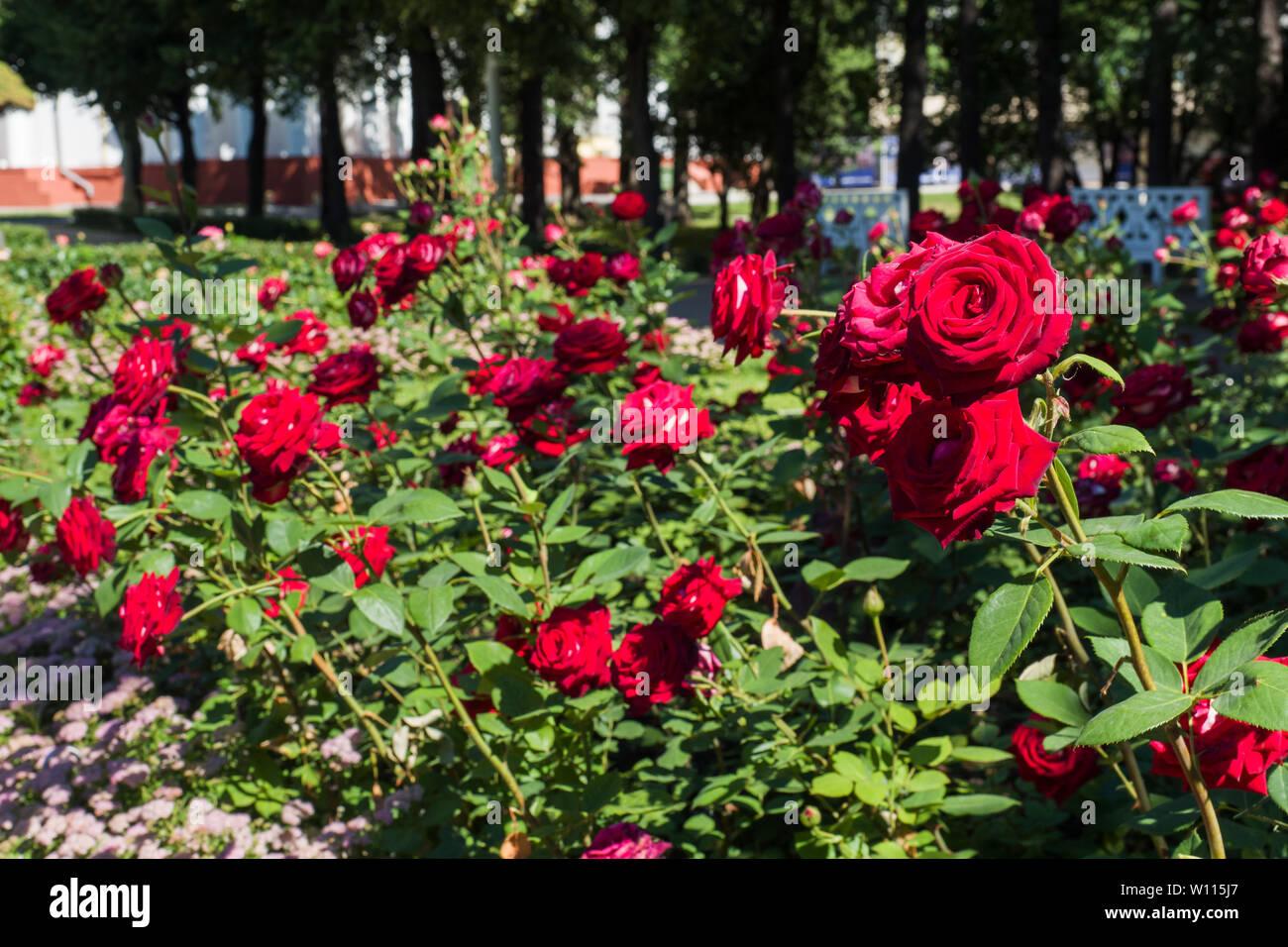 Flowering rose bushes in the summer garden - Stock Image