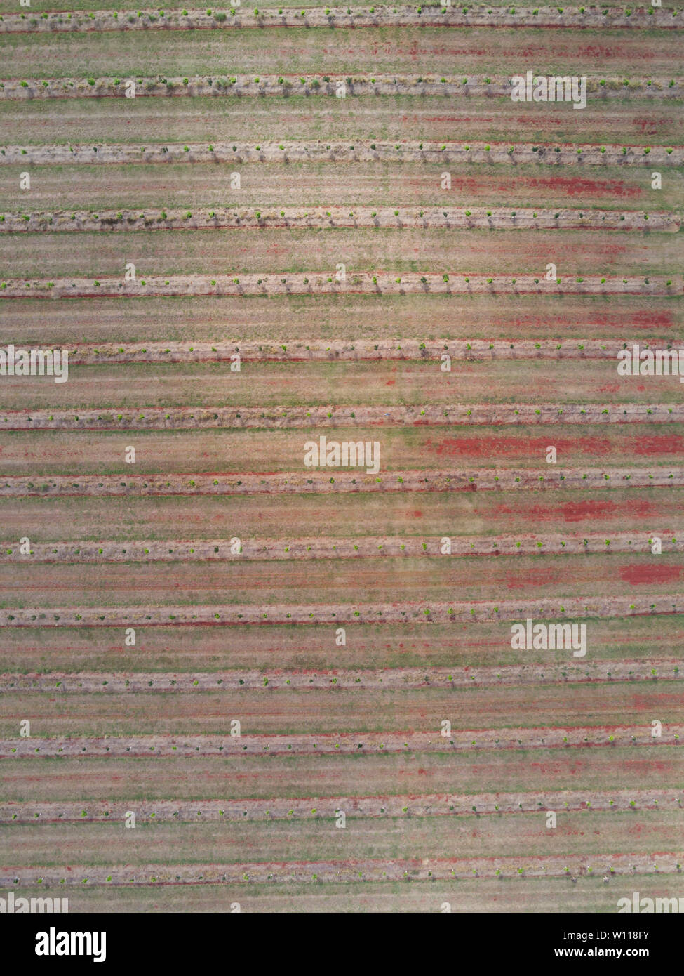 Aerial nadir view of young commercial macadamia nut trees in an orchard near Childers Queensland Australia - Stock Image