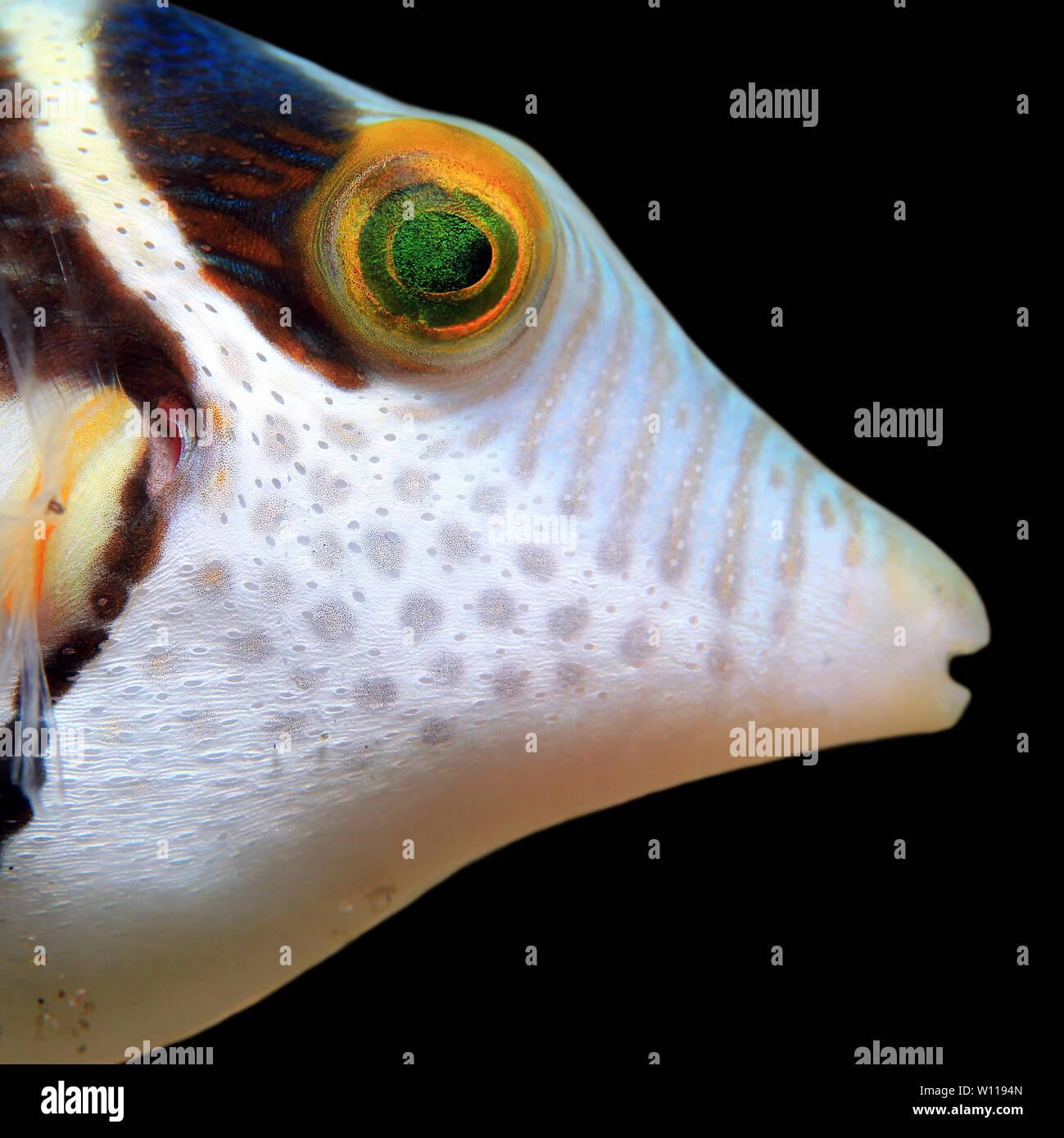 Close-up of a Black-saddled Toby (Canthigaster Valentini, aka Valentinnis Sharpnose Pufferfish, Valentinnis Sharpnose Puffer, Valentine Pufferfish, Va Stock Photo