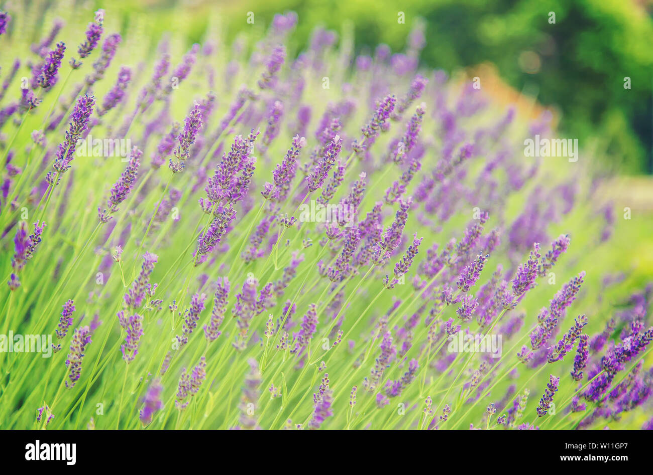 Blooming lavender field. Summer flowers. Selective focus nature Stock Photo