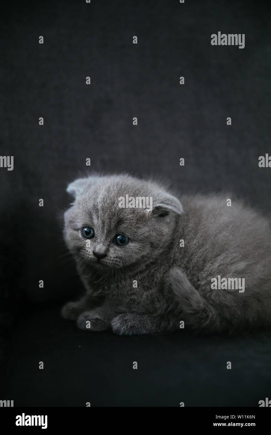 Baby Scottish Fold Gray Kitten Portrait Of A Cute Beautiful Sweet And Fluffy Grey Scottish Fold Cat Stock Photo Alamy