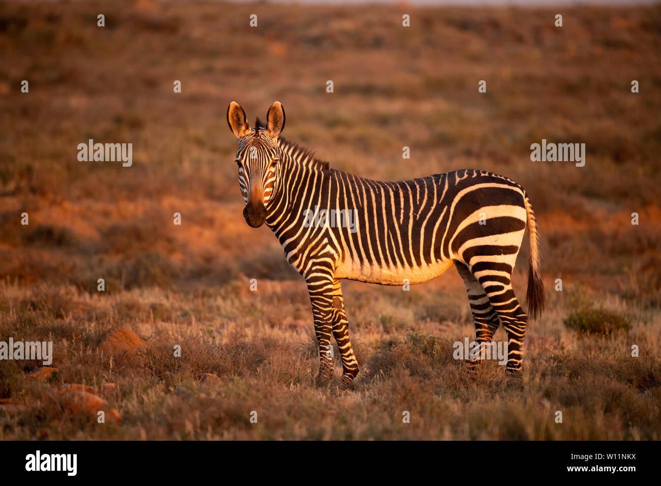 Cape mountain zebra, Equus zebra zebra, Mountain Zebra National Park, South Africa Stock Photo