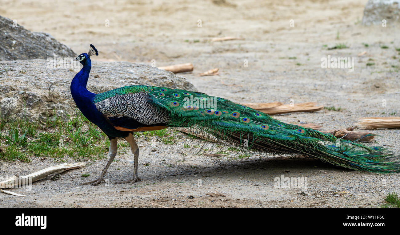 The Indian peafowl or blue peafowl, Pavo cristatus is a large and brightly coloured bird, is a species of peafowl native to South Asia, but introduced - Stock Image