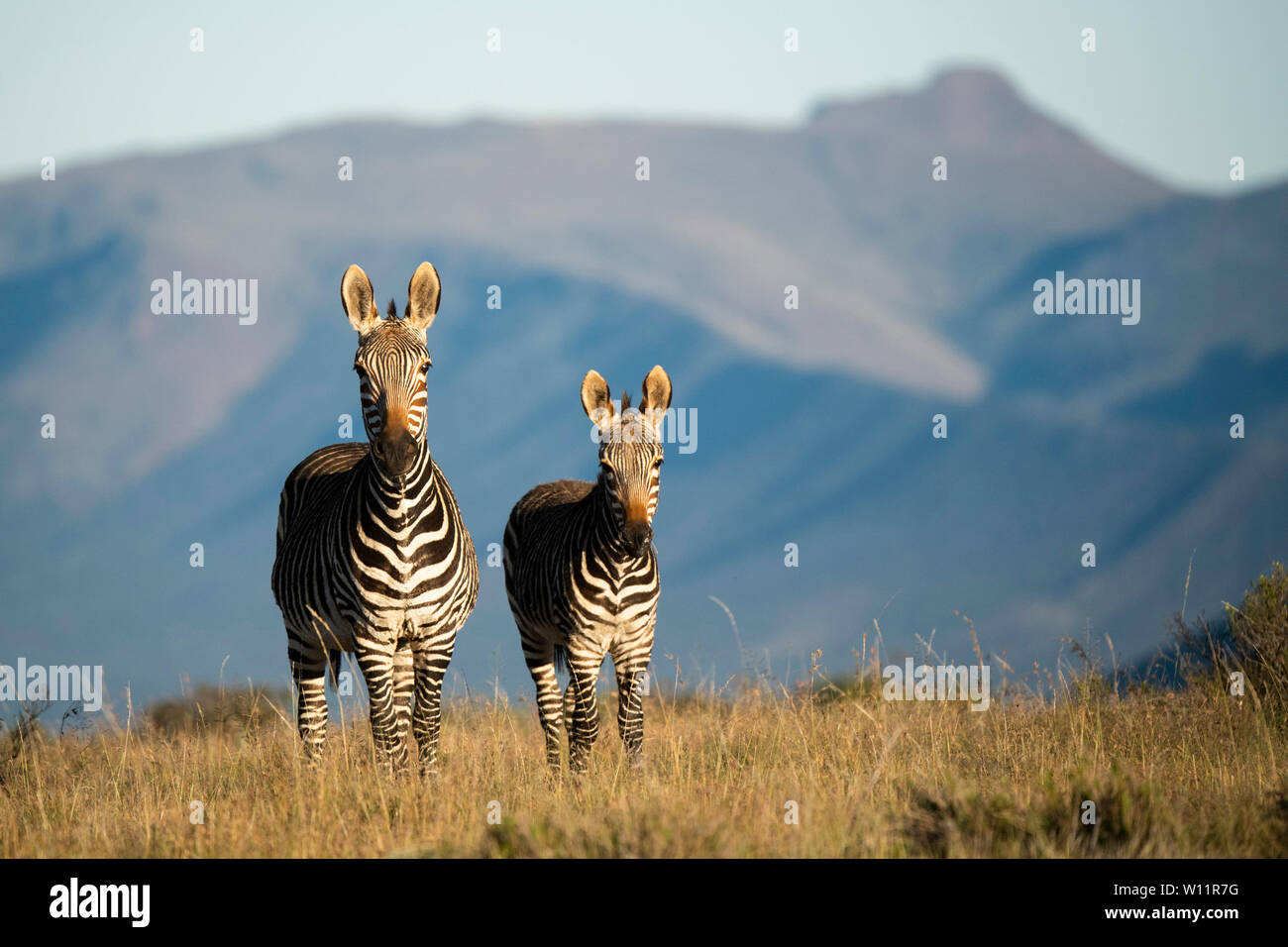 Cape mountain zebra with young, Equus zebra zebra, Samara Game Reserve, South Africa Stock Photo
