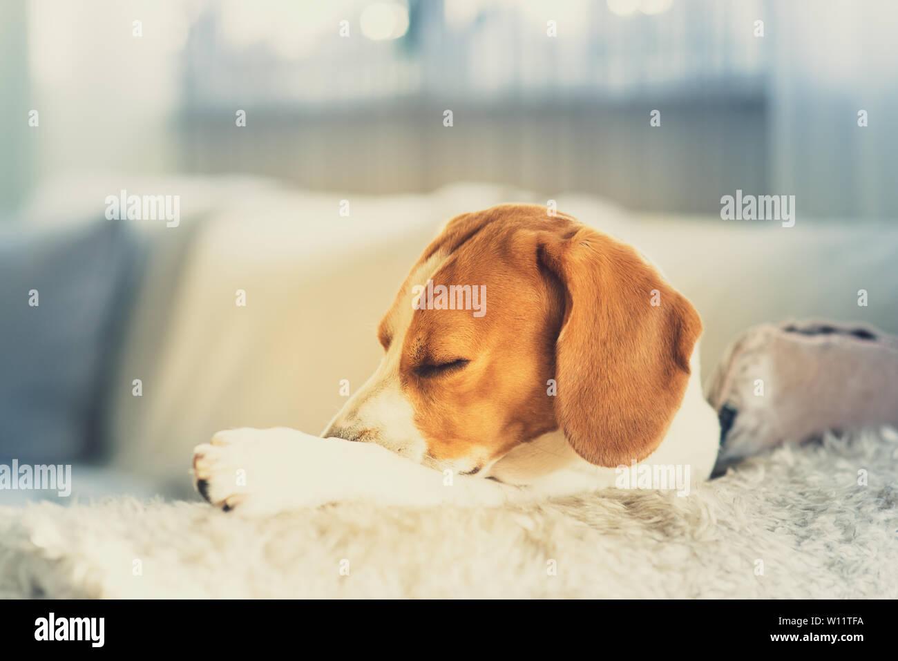 Sleeping Dog Stock Photos & Sleeping Dog Stock Images - Page