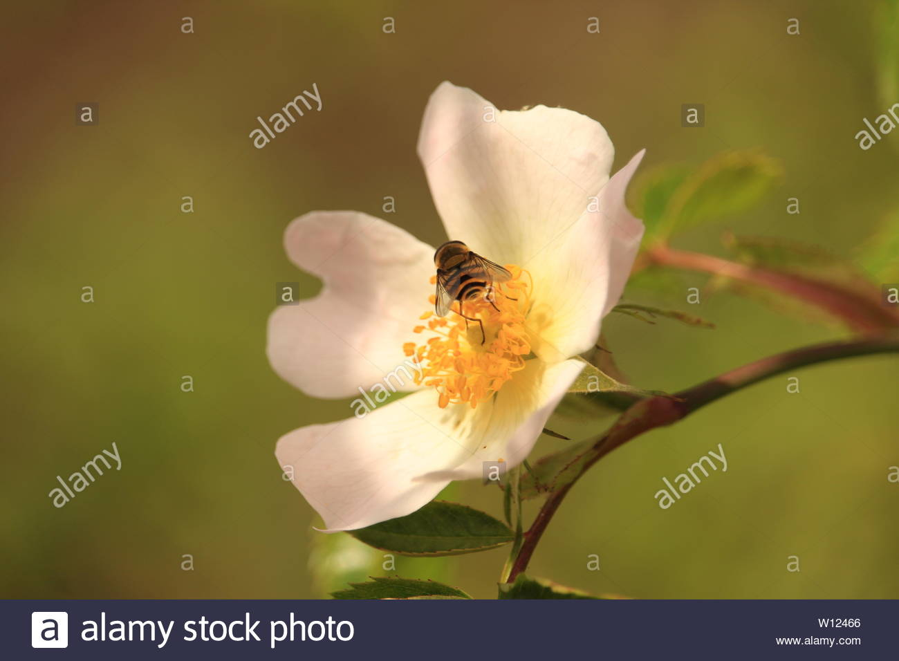 Wild Essex - A wasp gathers nectar from an apple flower blossom. - Stock Image