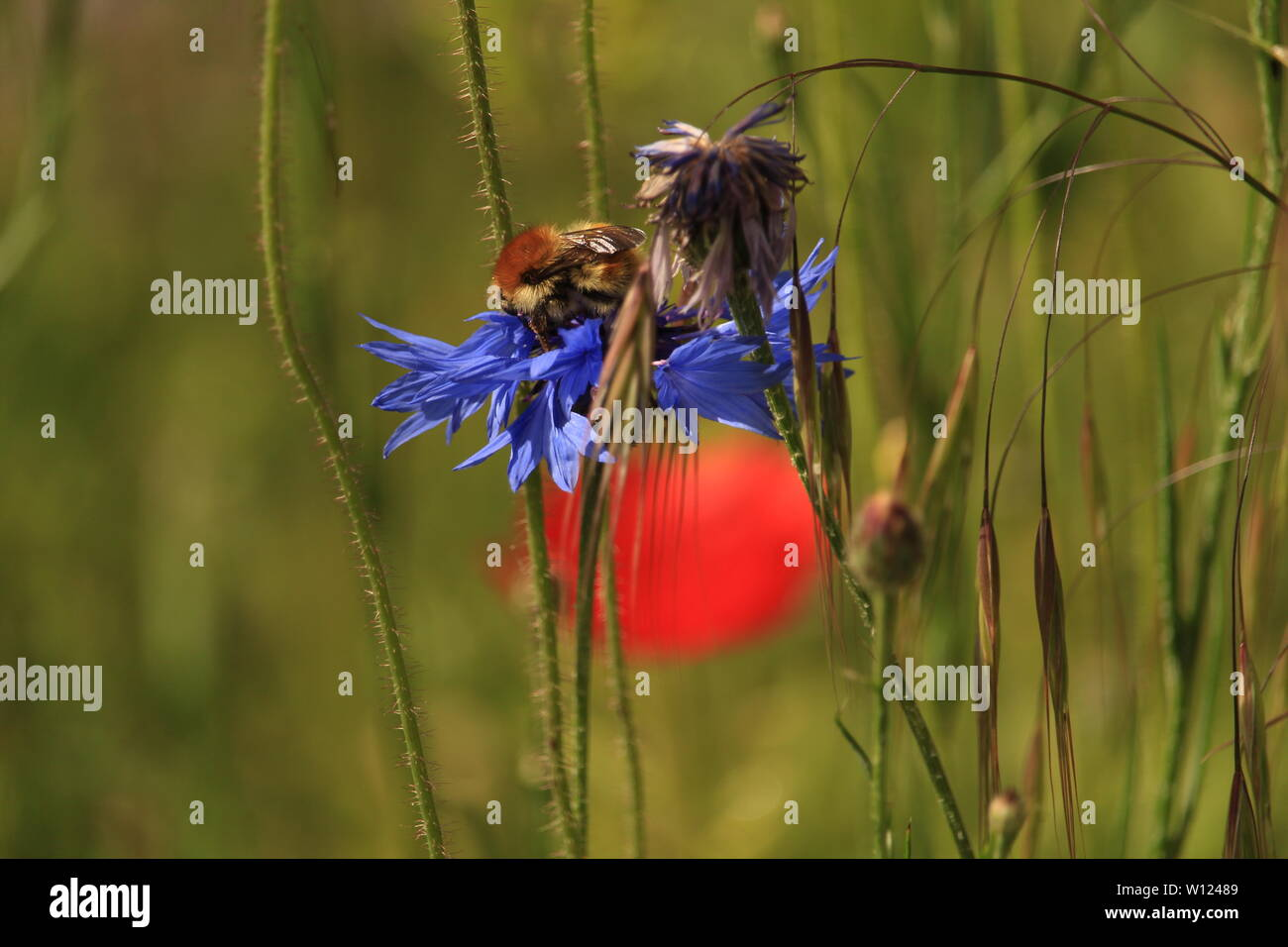'Bombus on the Rising sun' - A bee forages for nectar on a blue cornflower in a wildflower meadow in the Essex countryside. - Stock Image
