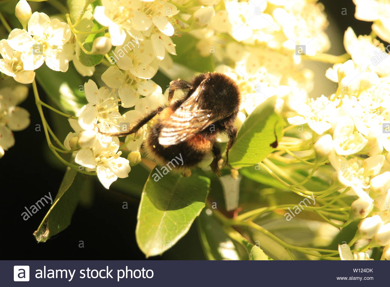 A bumble bee forages on the underside of apple tree blossom - Stock Image