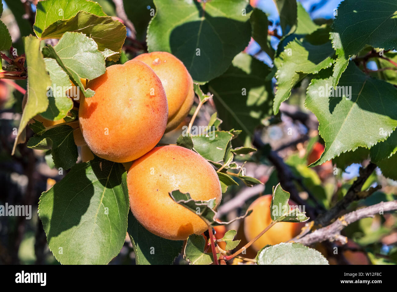 Close up of ripe Blenheim apricots on a branch in an orchard in Santa Clara valley, south San Francisco bay area, California Stock Photo