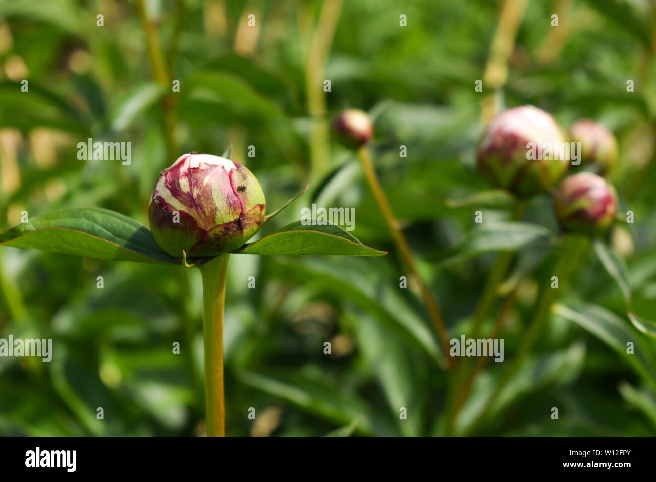 Black tiny ants on white Chrysanthemum flower bud with green floral background - Stock Image