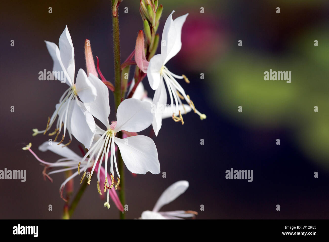 Prachtkerze, Präriekerze (Gaura lindheimeri) - Stock Image