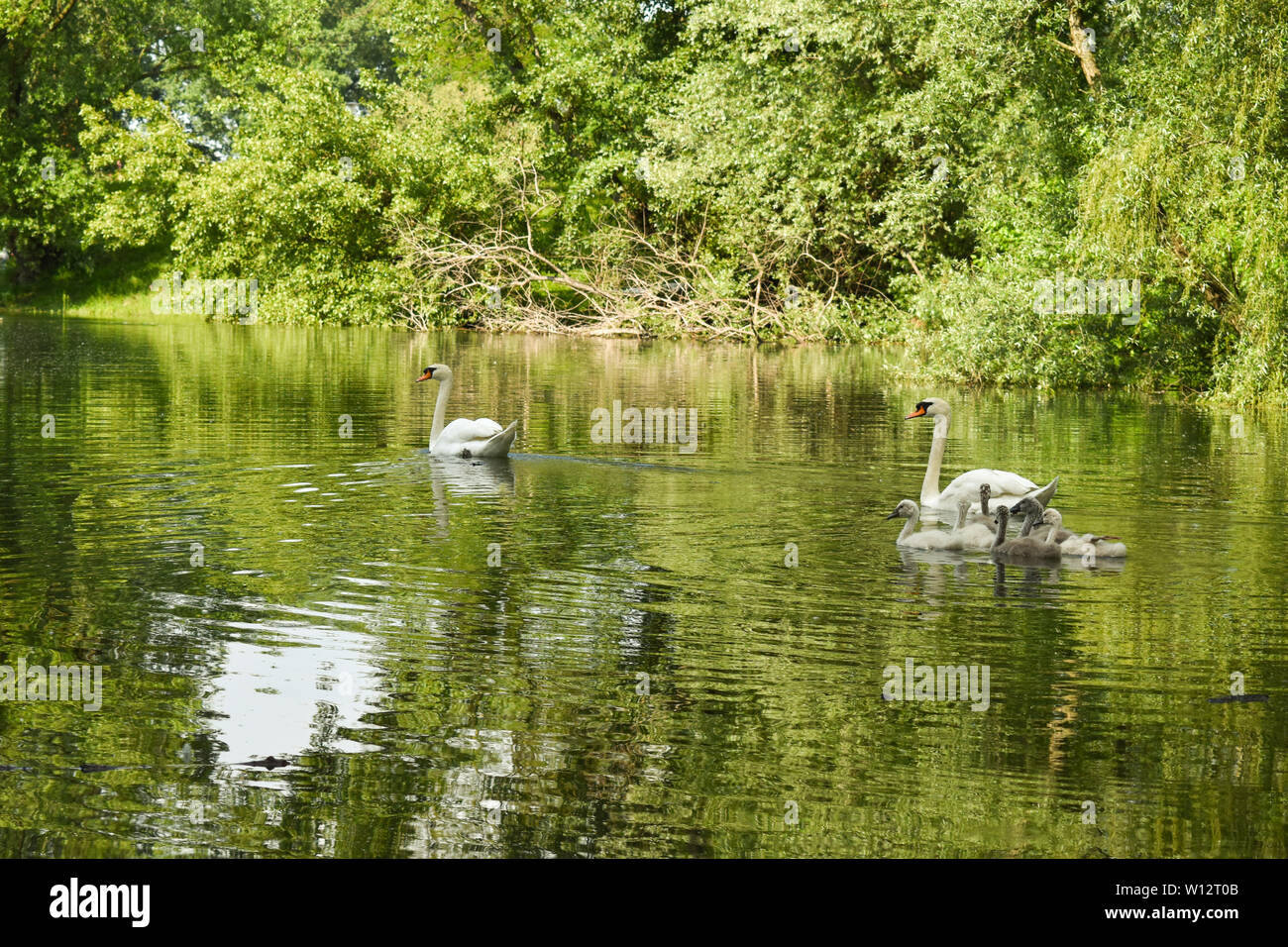 Swan family swimming in lake surrounded by green trees and bushes. Green foliage reflection on water. Stock Photo