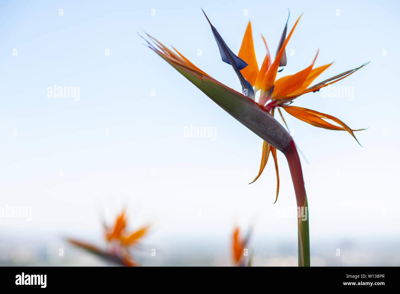 Bird-of-paradise flower, official name Strelitzia, on a cloudless blue sky. Copy space for a message. Stock Photo