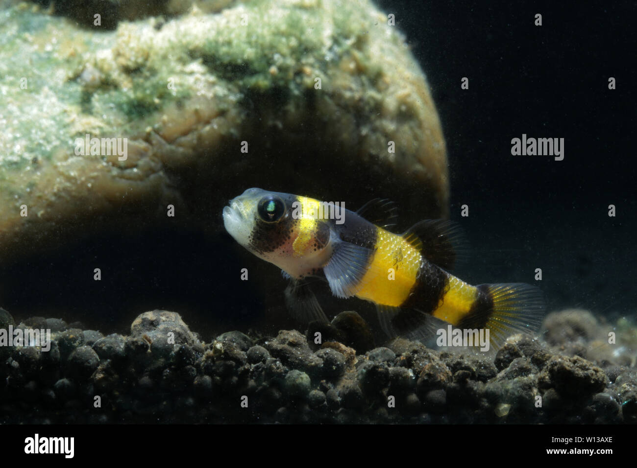 Bumblebee goby (Brachygobius sabanus) Stock Photo