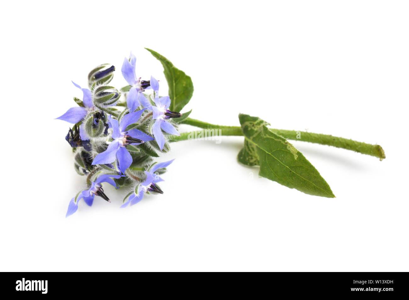 Starflower Borago officinalis on white background - Stock Image
