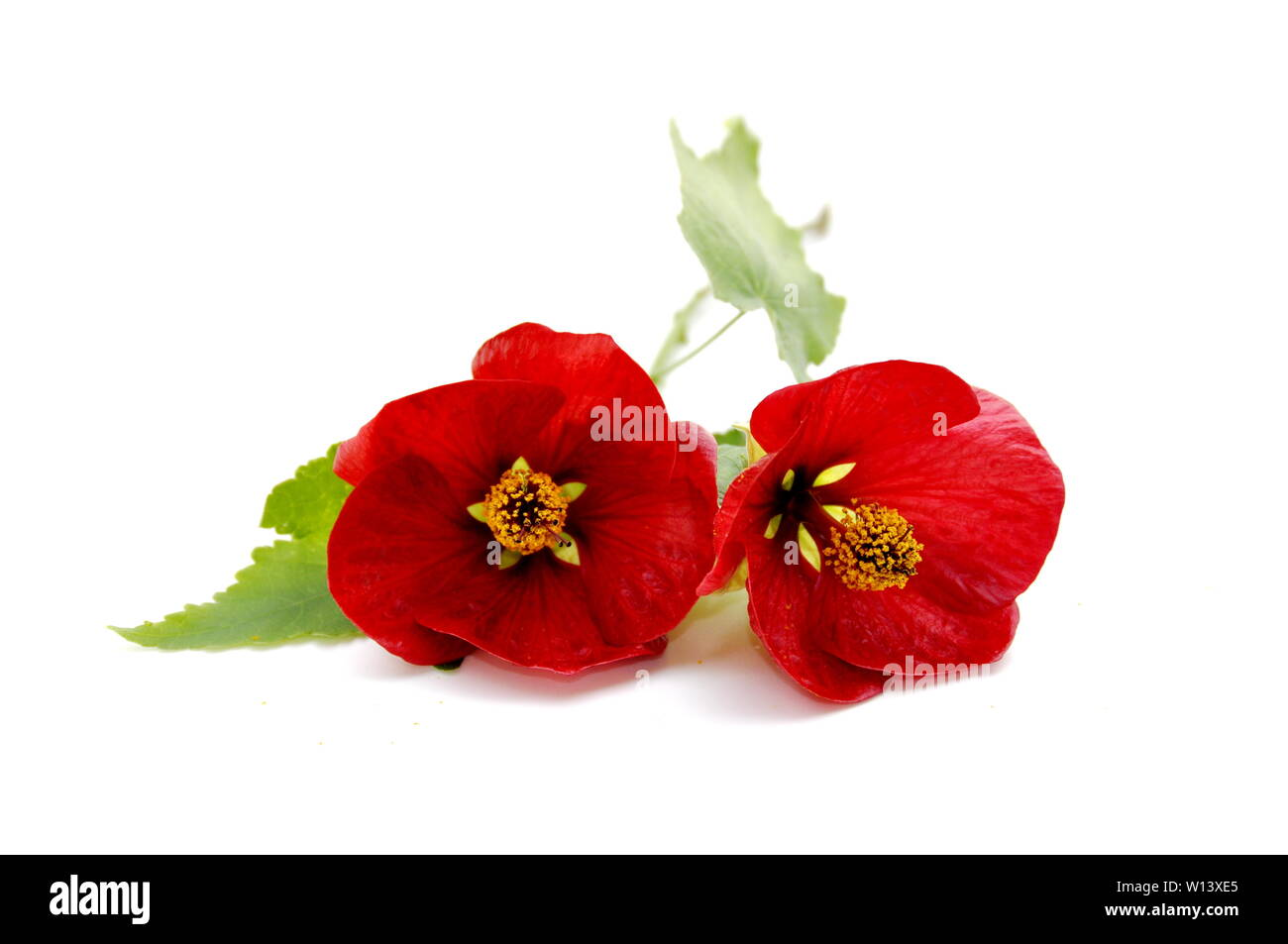 Red Indian mallow flower on white background Stock Photo