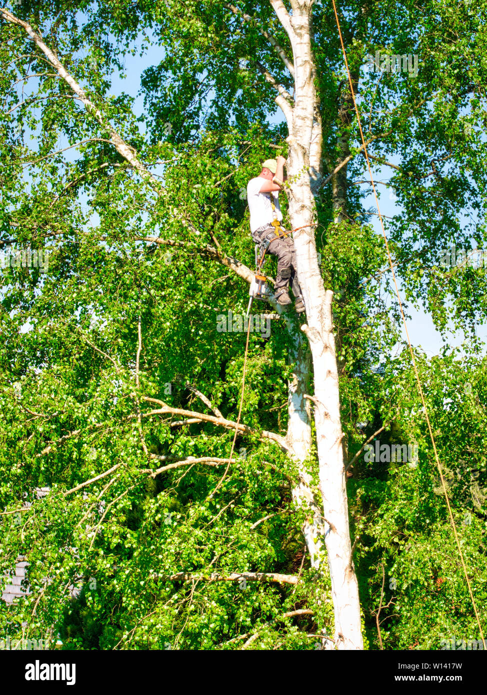 Mature professional male tree trimmer high in top birch tree cutting branches with gas powered chainsaw and attached with headgear for safe job. Exper Stock Photo