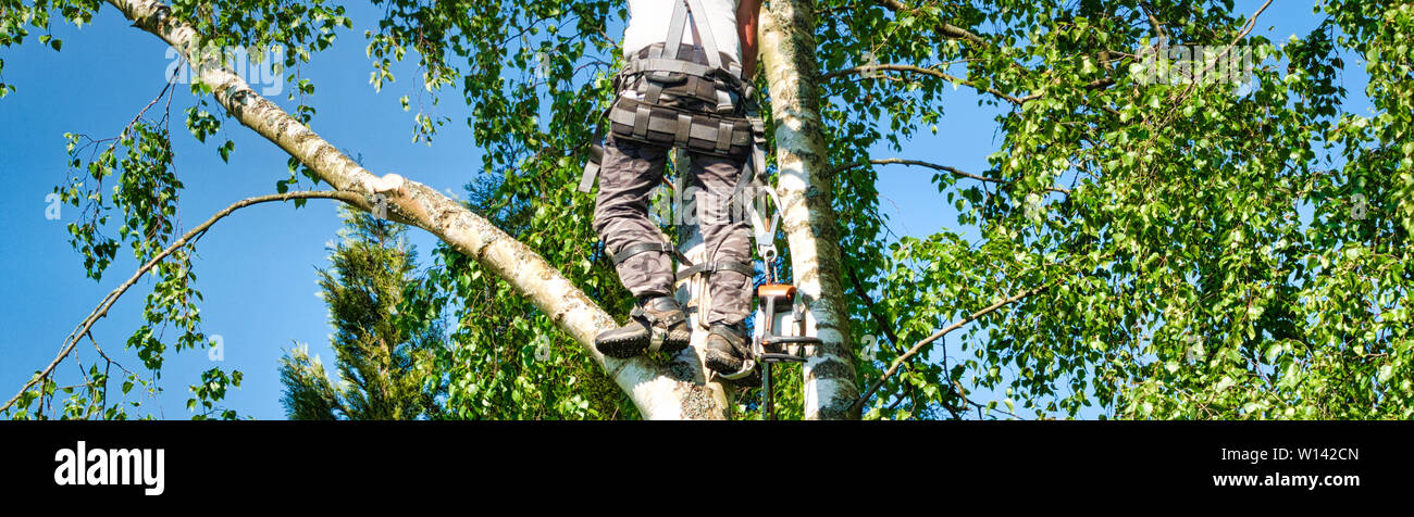 Close-up mature professional male tree trimmer high in top birch tree cutting branches with gas powered chainsaw and attached with headgear for safe j Stock Photo