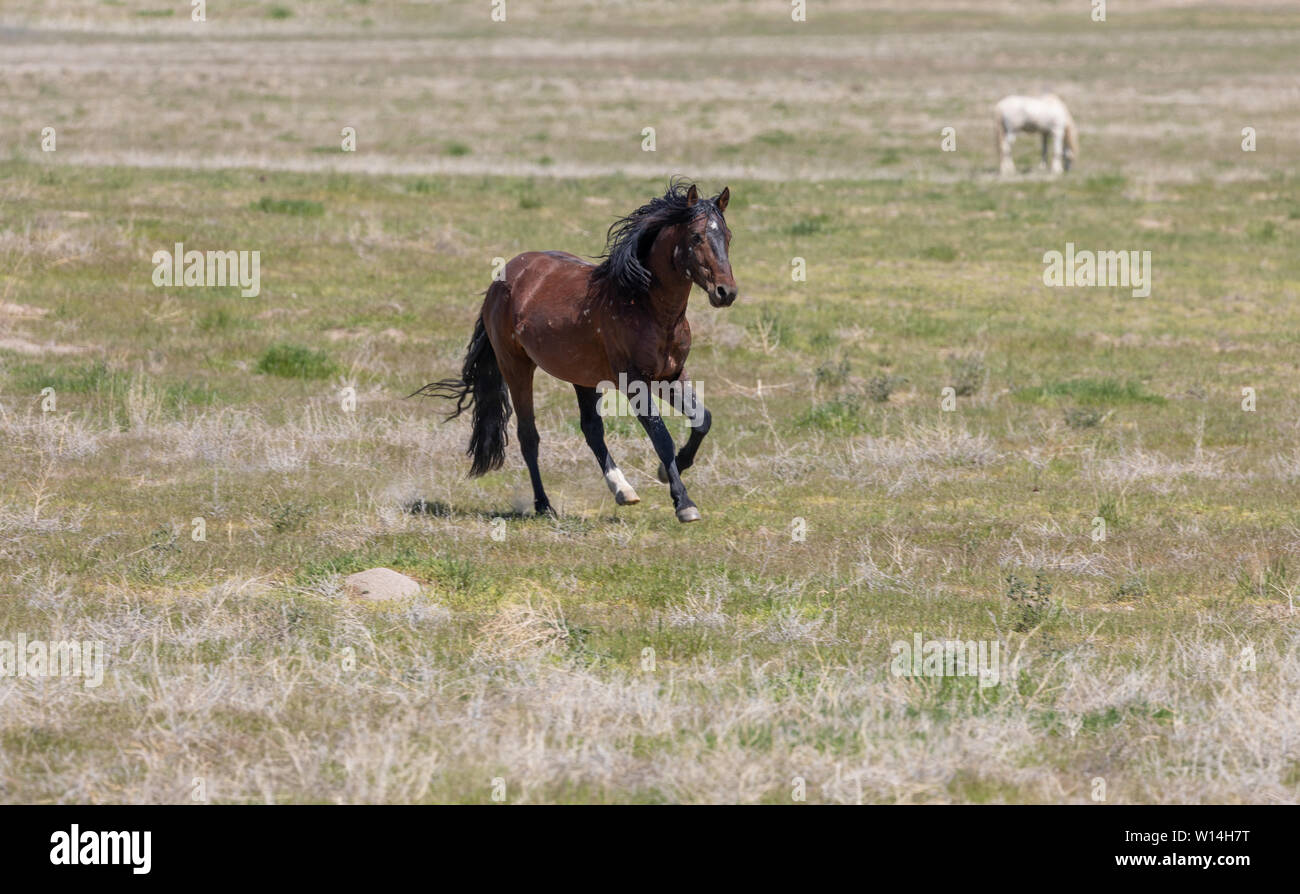 Beautiful Wild Horse Stallion Stock Photo Alamy