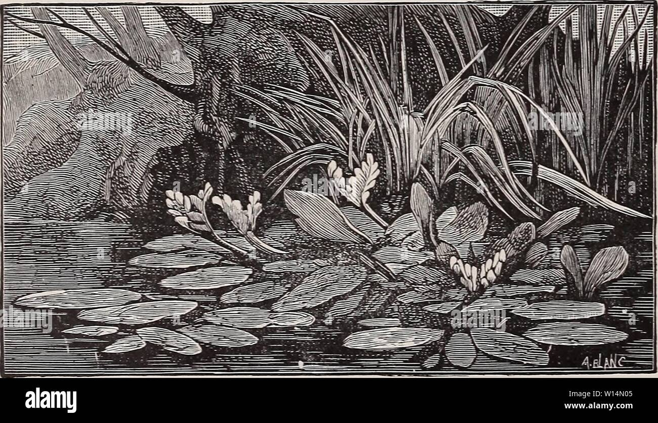 Archive image from page 21 of Descriptive and illustrated catalogue of. Descriptive and illustrated catalogue of new and rare water-lilies, nelumbiums and other choice aquatics, sub-tropical plants, ornamental grasses, etc. . descriptiveillus1895will Year: 1895  18 WM. TRICKER & CO., CLIFTON, N. J. NYMPHJ1A GIGANTEA. (See Illustration Page 19). An Australian species, must not be confused with N. Odorata Gigantea, under which name a large, flowering form of our native Pond Lily is being offered. N. Gigantea is probably one of the handsomest of Nymphseas, the color being a satiny blue, shading t Stock Photo