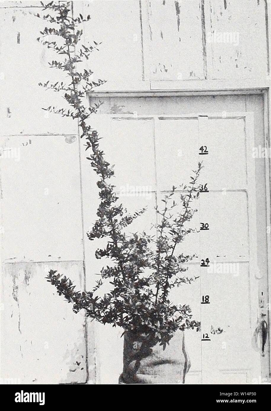 Archive image from page 23 of Descriptive illustrative price list . Descriptive illustrative price list : fall 1962 spring 1963 . descriptiveillus1962jvan Year: 1962  Pyracantha lalandi 1 gal. can    Pyracantha lalandi 4 gal. can Stock Photo