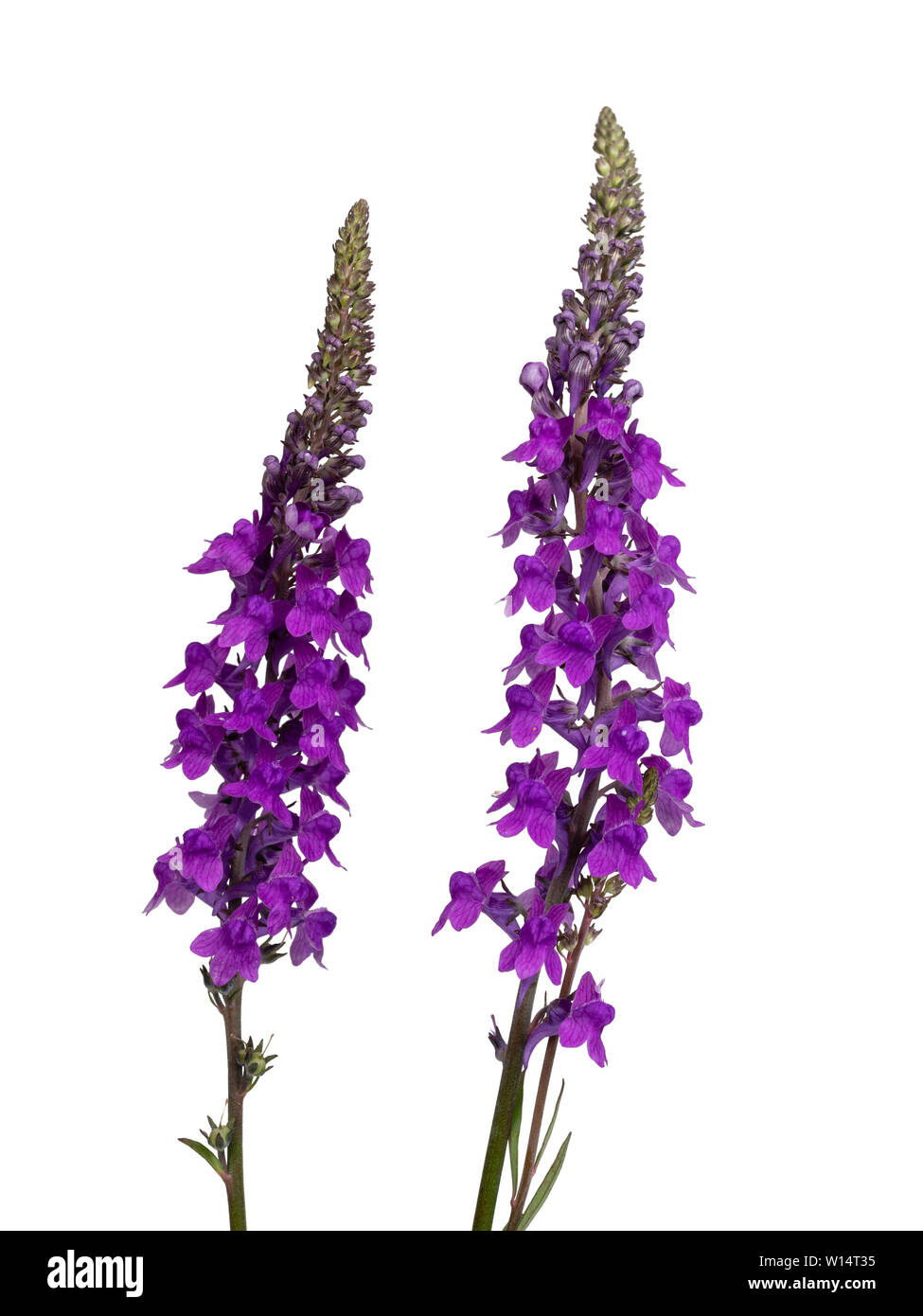 Purple flowers in the spike of toadflax, Linaria purpurea, an UK wildflower and cottage garden plant on a white background - Stock Image