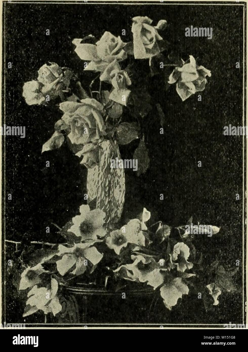 Archive image from page 104 of Descriptive catalogue  fruit and. Descriptive catalogue : fruit and forest trees, vines and shrubs, palms and choice roses . descriptivecatal1904fanc Year: 1904  PAN CHER CREEK NURSERIES. 101 tor; said to be a dwarf Crimson Rambler, but a perpetual bloomer; very vigorous foliage, of a beautiful, deep, bright green color. Wherever exhibited it has secured valuable prizes.    Belle Siebrceht —Hybrid Tea. Page 102 Single Cherokee at the Base. Mainan Cochet, (Tea). One of the finest roses of recent introduction from France; a vigorous grower, with beautiful foliage; - Stock Image
