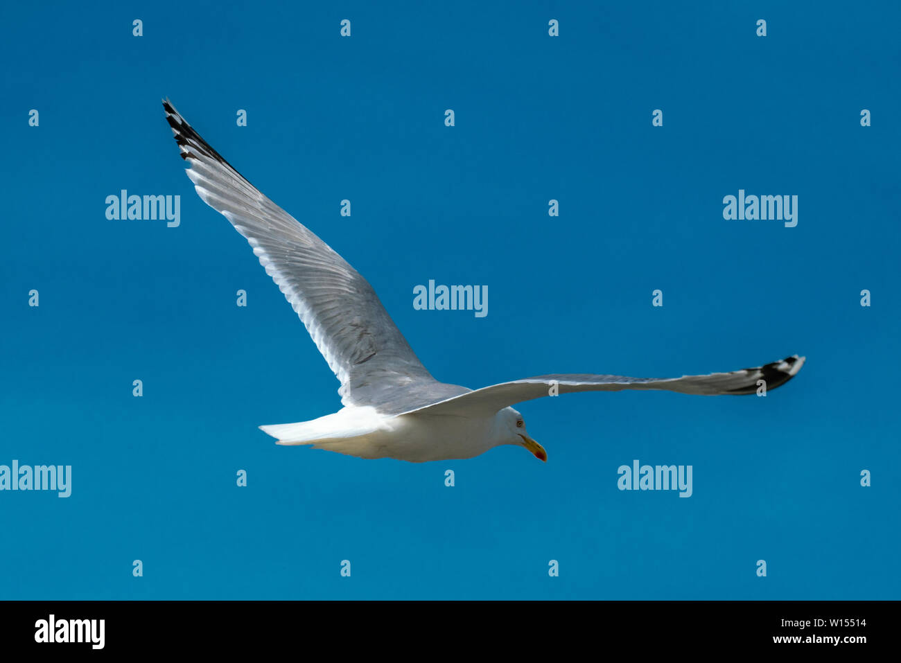 close up of a flying seagull against a blue sky with many details of wings and feathers - Stock Image