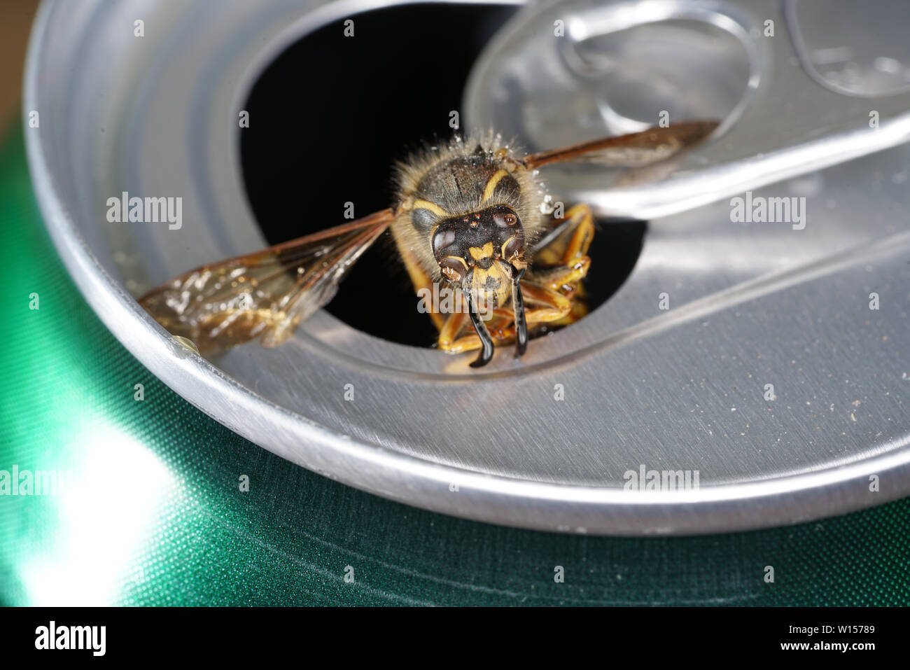 Bee in a soda can with macro shot photographed in best resolution - Stock Image