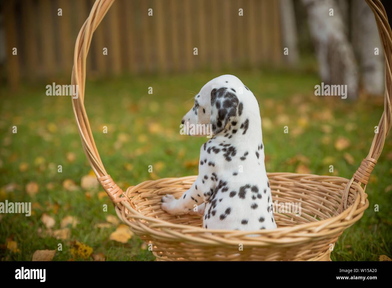 Adorable dalmatian dog outdoors in summer, autumn Dalmatian