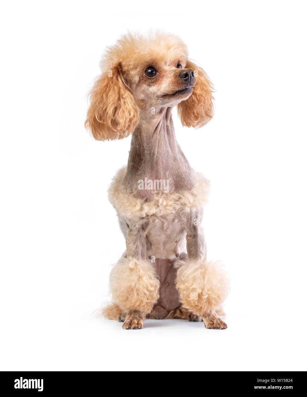 Groomed Poodle Stock Photos Groomed Poodle Stock Images