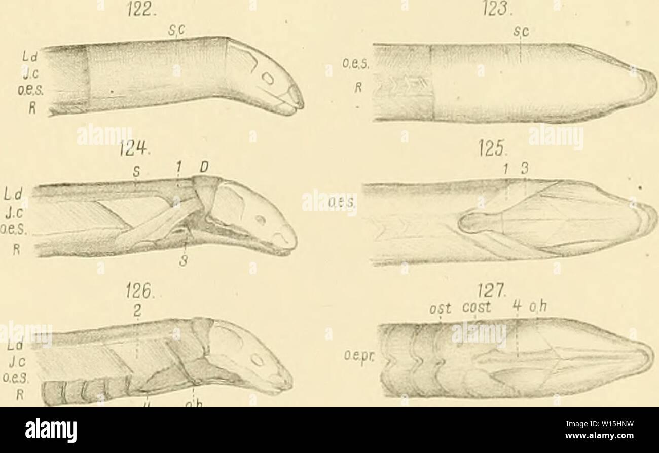 Archive image from page 154 of Die Knochen und Muskeln der. Die Knochen und Muskeln der Extremitaten bei den schlangenähnlichen Sauri . dieknochenundmus00fr Year: 1870  TafX    o.es. q oh 128. 5c ( o,h :'i',i.ii»'ây!;i>''''' â â 12g. sc oh M Furbringer |e2 LithAnslv,J.GÃach Leipzig. Stock Photo