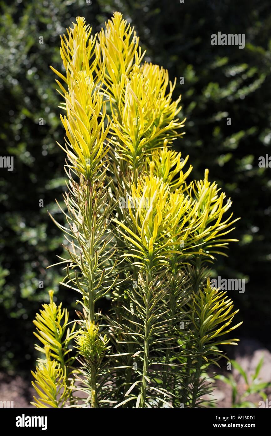 Cephalotaxus harringtonia 'Korean Gold' Plum Yew tree. - Stock Image