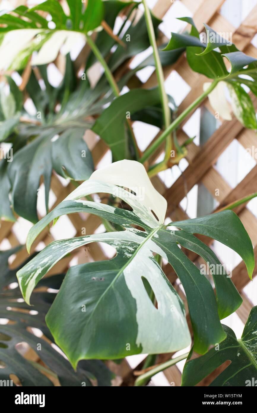 Monstera deliciosa 'Variegata' - Variegated Mexican Breadfruit plant. - Stock Image