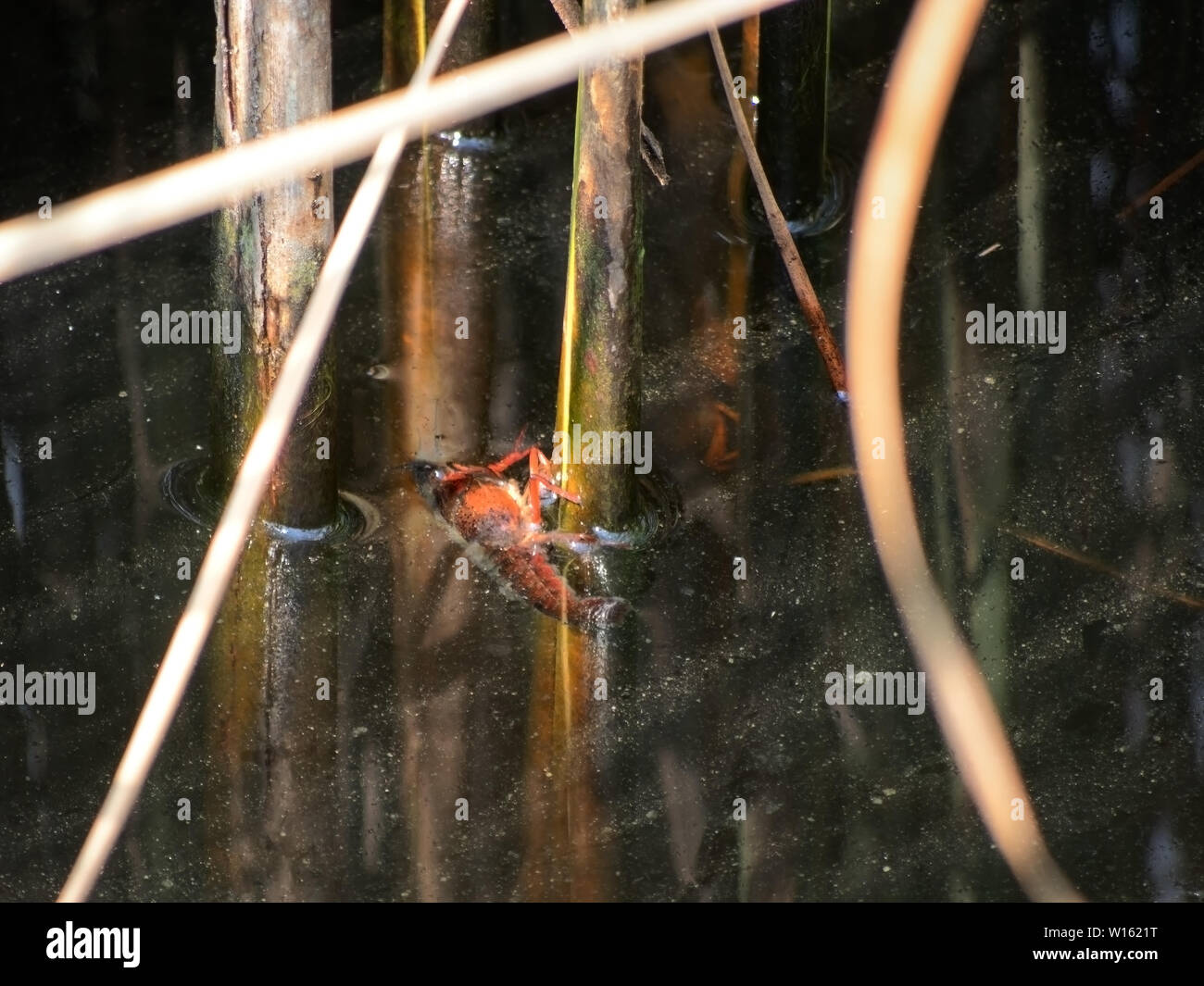 Procambarus Clarkii crayfish, clinging to reeds in Italian waterway. Once pets, released into the wild these animals have become invasive pests. - Stock Image
