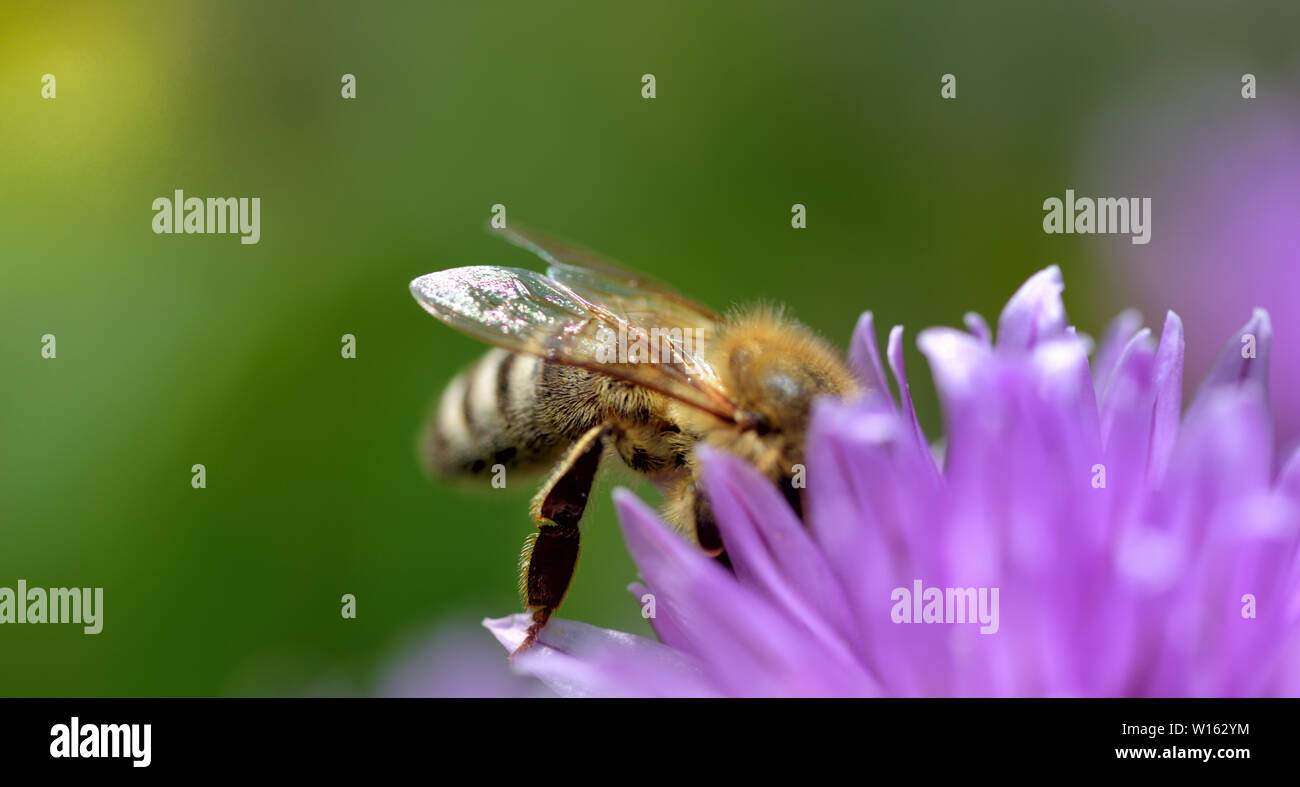 ittle bee on a purple flower of chive in summer - Stock Image
