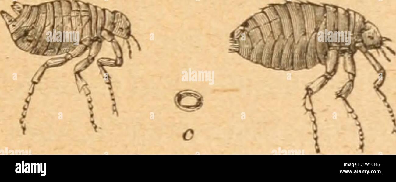 Archive image from page 274 of Die Insekten nach ihrem Schaden. Die Insekten nach ihrem Schaden und Nutzen . dieinsektennachi00tasc Year: 1882  — 267 — e§ 6ci ag urtb bei Dacfjt; benu er f)at t)tel iirft, bt§ er gtücfüd) er!)afd}t ift, ober nacf) (Sn'füKiuig (einer 33eftimmuni3 — einen natiirlidjcn oh ftirbt. eDor biefer eintritt, iyat ba§ bicf anßefrfjtüoKene 3BeiMjen jeine fugelicjen lerlgranen (Sier (c) in ftanbigc (Sden, foldje 3SinM, tüo ettra Mridt nriidgeblieBen ift, nnb nament(id) junjdien bie bieten gelegt, >a ftdj bie Saröe l)on fendjten, jjffanlidjen ober tierijdjen Stoffen, o - Stock Image