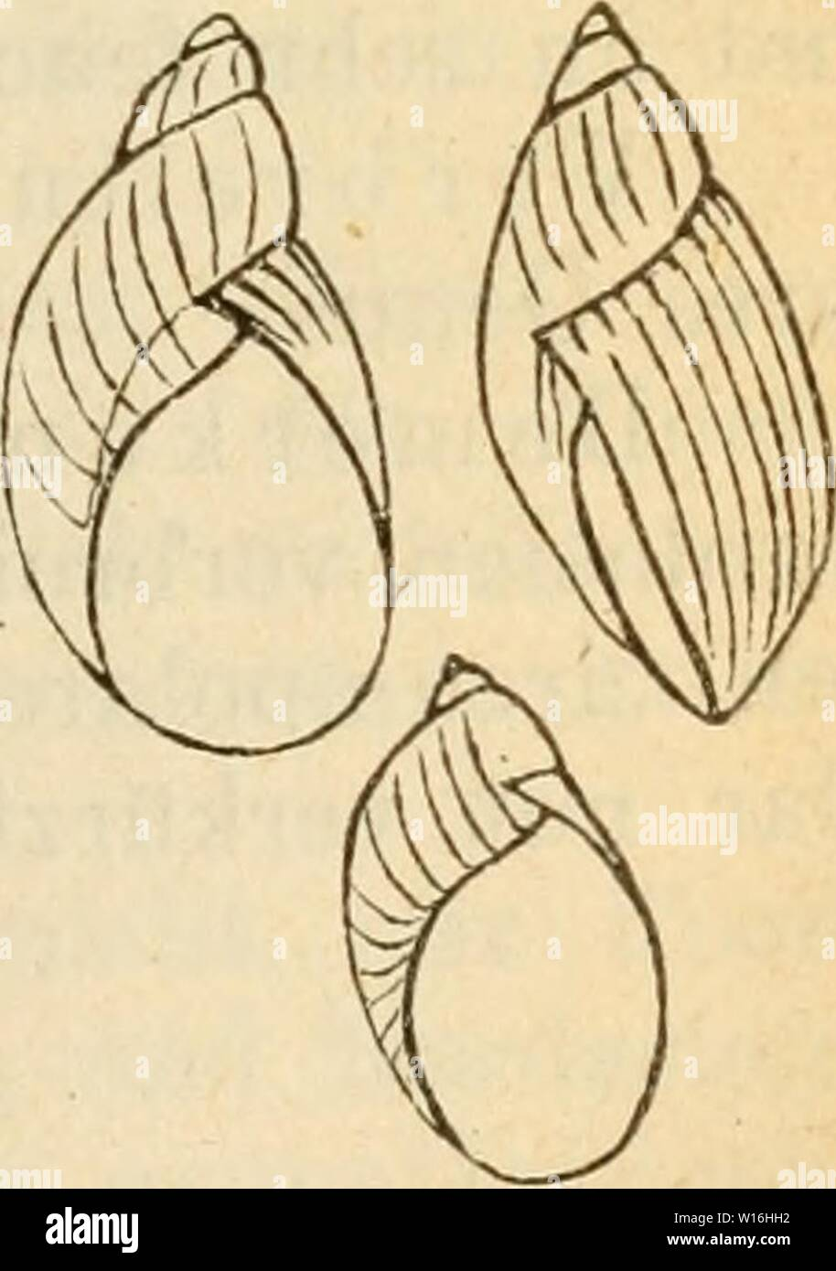 Archive image from page 292 of Deutsche excursions-mollusken-fauna (1876). Deutsche excursions-mollusken-fauna . deutscheexcursio00cles Year: 1876  287 Ue her sieht der Arten. A. Gehäuse gross von bernsteingel- ber Farbe. 1. Gewinde sehr kurz, Mündung eiförmig. Succ. putris, L. 2. Gewinde länger, Mündung verlängert-eiförraig. Succ, PfeifFeri, 'Rossm. B. Gehäuse klein von grünlich-grauer Farbe. Succ. oblonga, Drap. 1. SHCcinea putris, Linne, Helix putris, L., Syst. nat. ed. X. 1758. p. 774. ed. XII. p. 1249 Nr. 705. — — V. Alten, Syst. Verz. p. 96. — Stvirm, Fauna VI. I. t. 16. — succinca, Müll Stock Photo
