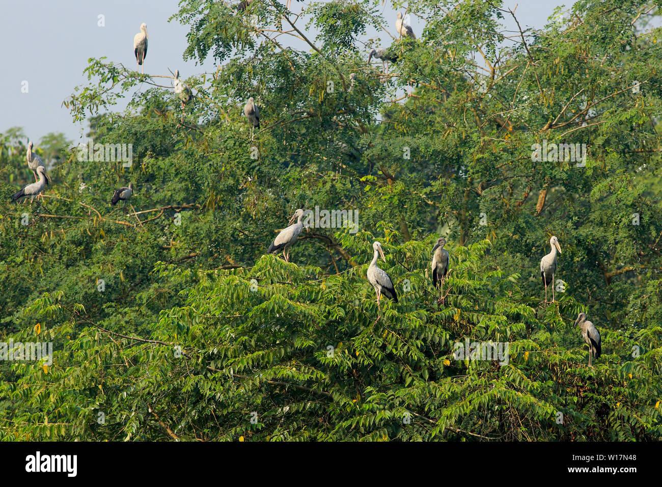 Asian Openbill locally called Shamukkhol on the tree at Jahangirnagar University, Dhaka, Bangladesh - Stock Image
