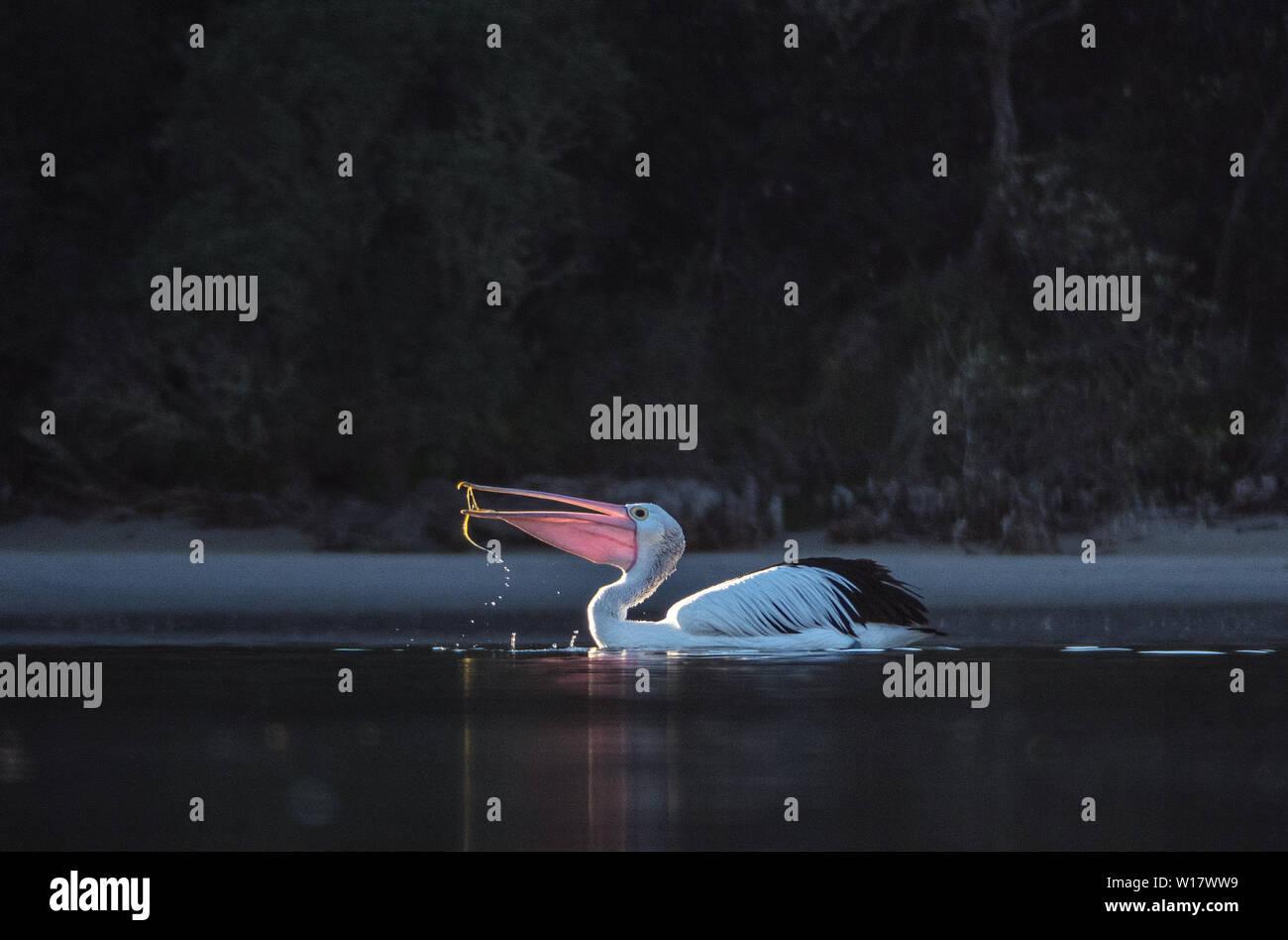 Pelican scenes. - Stock Image