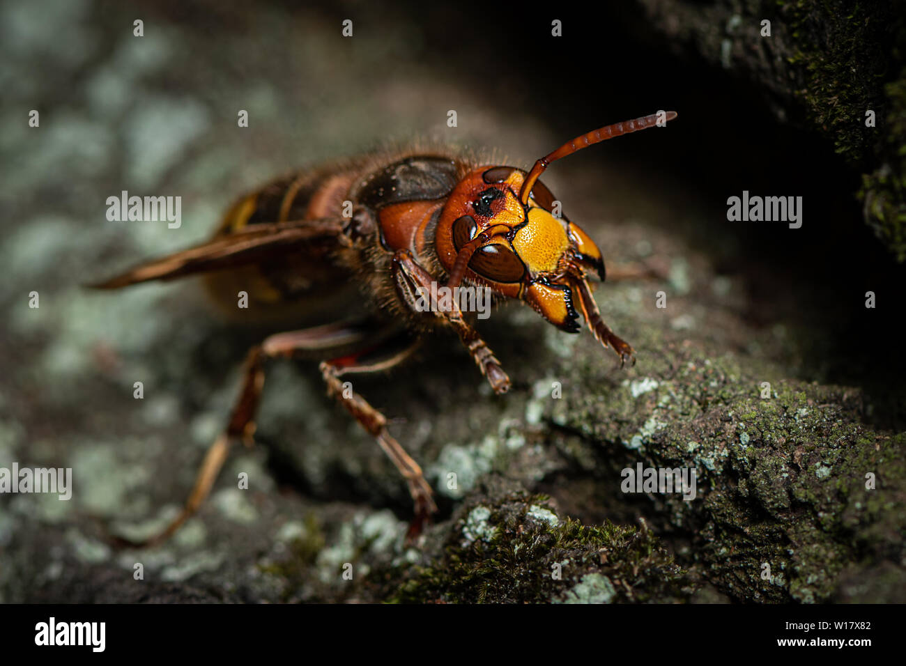 A European hornet (Vespa crabro) sitting on a tree - Stock Image