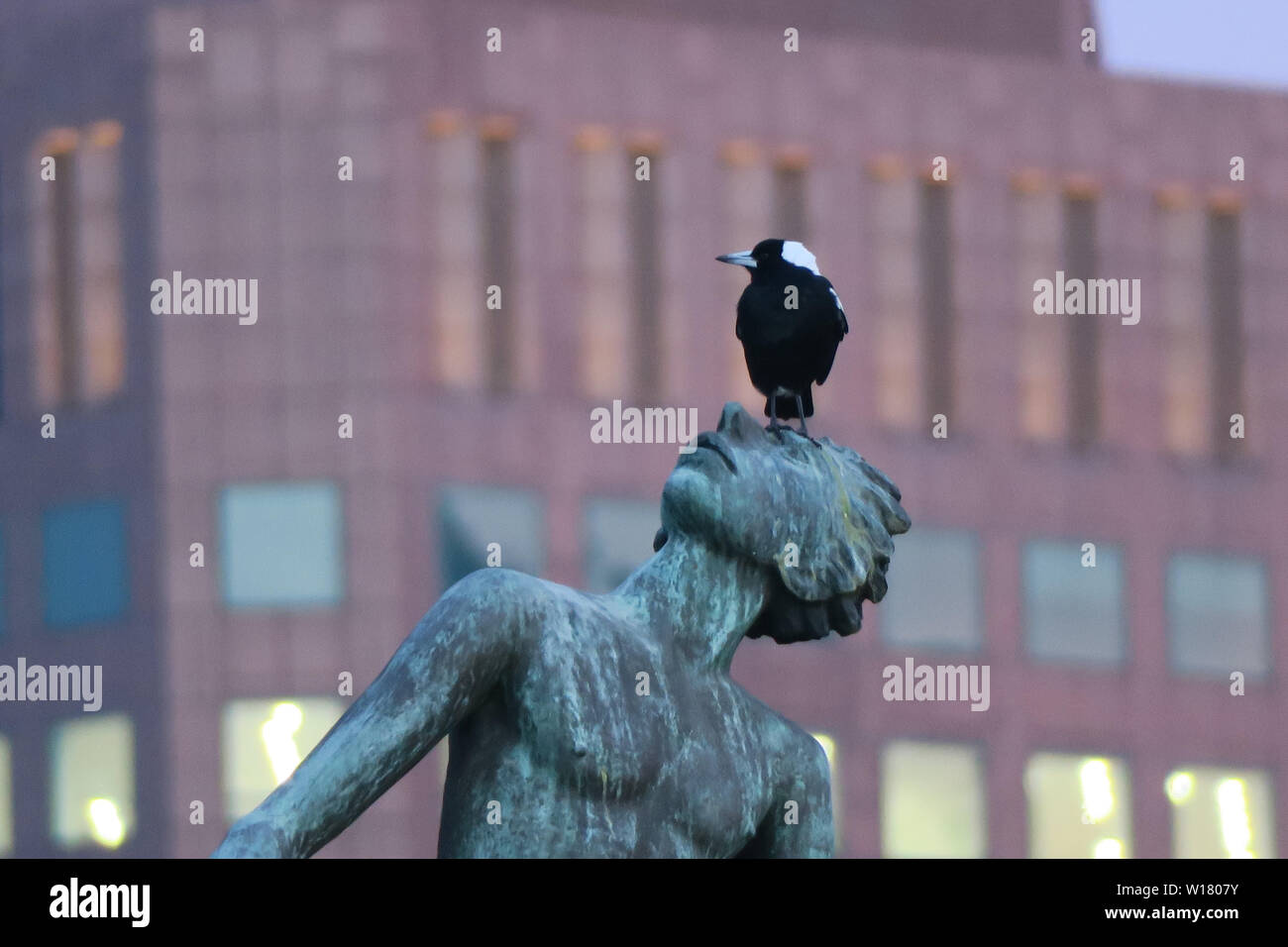 Birds of Melbourne. A magpie bird sits on the face of a statue in Melbourne. Stock Photo
