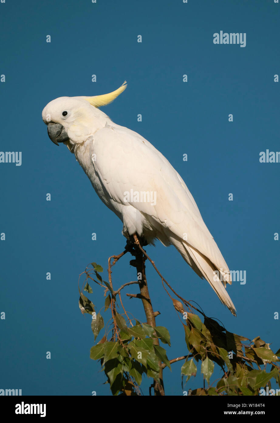 Sulphur-crested Cockatoo, Cacatua galerita, perched in a tree with blue sky background near Dubbo New South Wales, Australia Stock Photo
